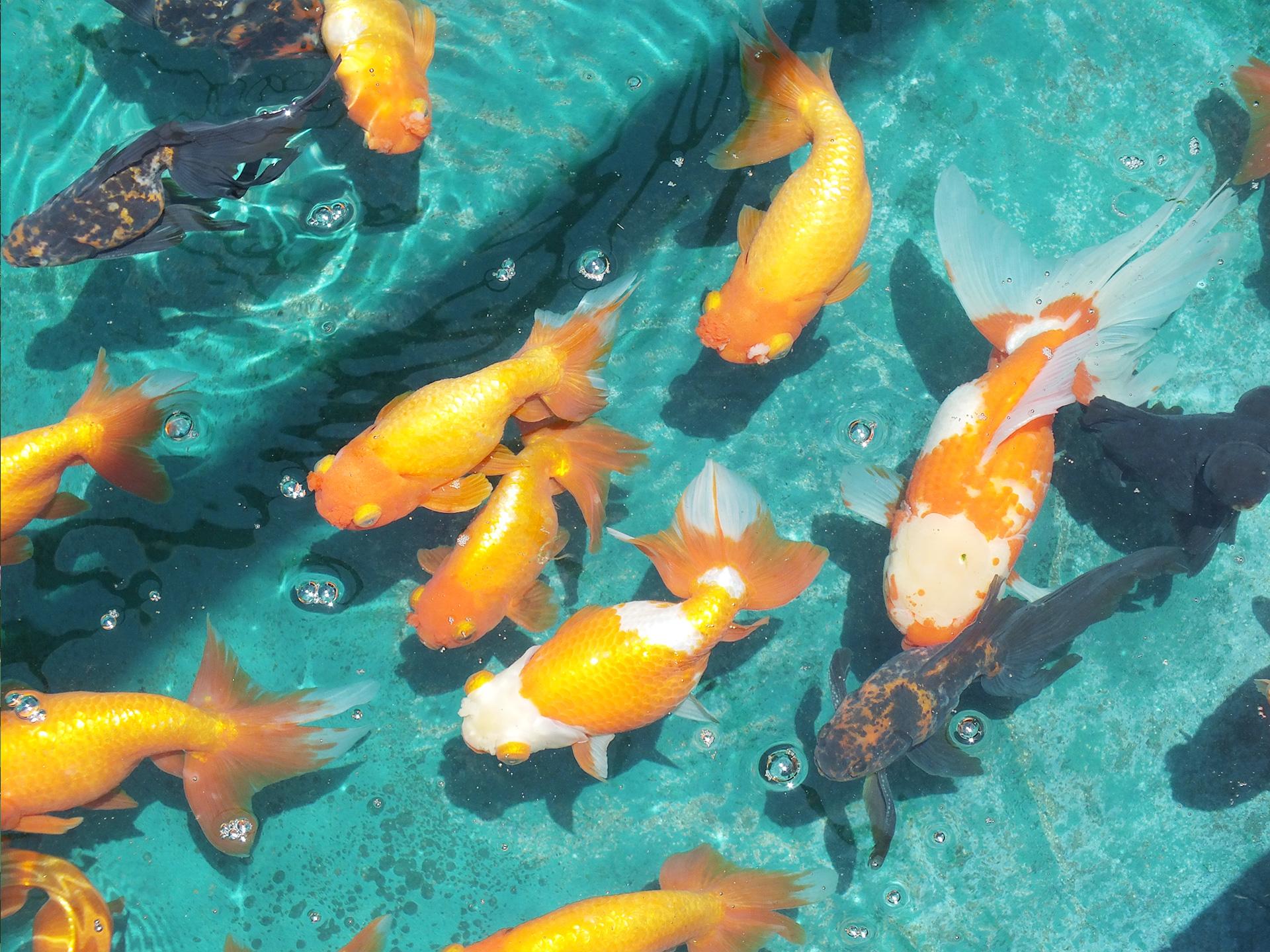 水元公園の金魚