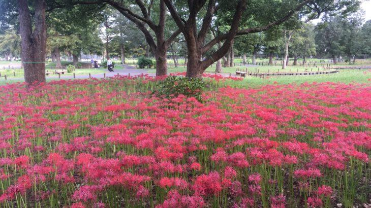 水元公園の彼岸花