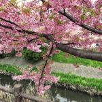 坂川の河津桜