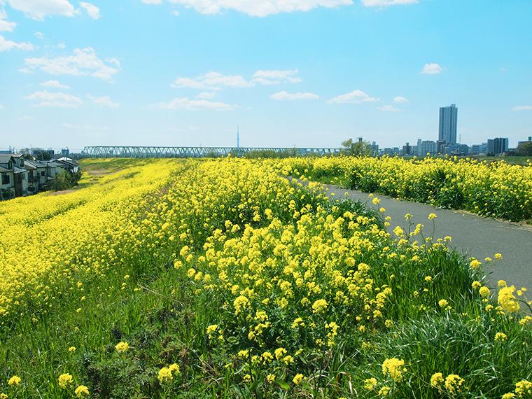 江戸川土手が菜の花が満開です